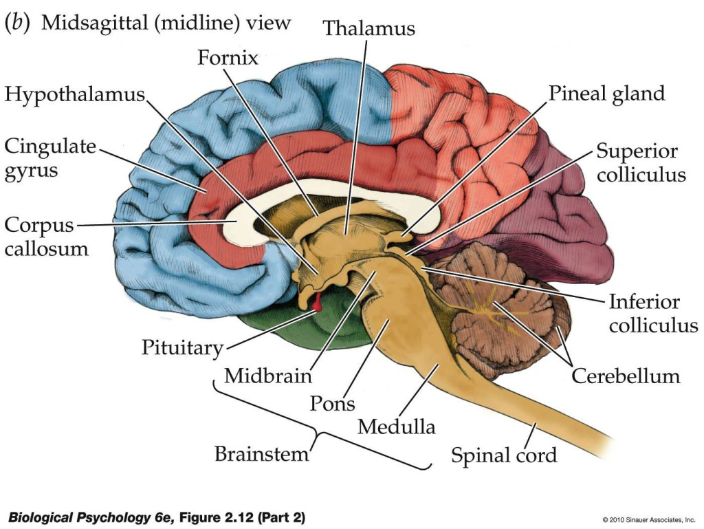 Midline view of the brain